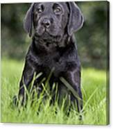 Black Labrador Puppy Canvas Print
