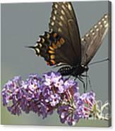 Black Swallowtail Butterfly Feeding Canvas Print