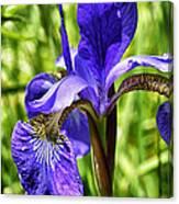 Blood Iris Canvas Print