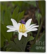 Bloodroot Wildflower - Sanguinaria Canadensis Canvas Print