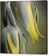 Blooming Cacti Canvas Print