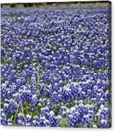 Blue Bonnet Carpet V7 Canvas Print
