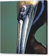 Blue-eyed Pelican Canvas Print