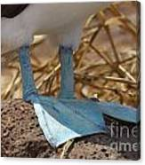 Blue Footed Boobie Galapagos Canvas Print