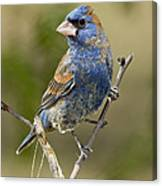 Blue Grosbeak Canvas Print