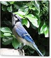 Blue Jay 1 Canvas Print