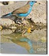 Blue Waxbill Reflection Canvas Print