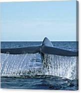 Blue Whale Tail Sea Of Cortez Canvas Print