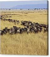 Blue Wildebeest Migrating Masai Mara Canvas Print