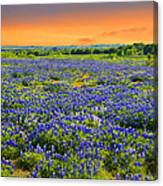 Bluebonnet Sunset  Canvas Print
