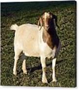 Boer Goat  Canvas Print