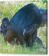 Bonobo Mother And Baby Canvas Print