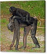 Bonobos Canvas Print