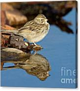 Brewers Sparrow At Waterhole Canvas Print