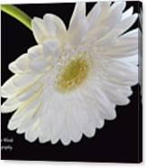 Bright White Gerber Daisy # 2 Canvas Print