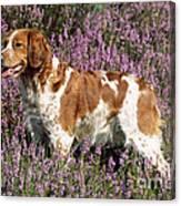 Brittany Spaniel Or Epagneul Breton Canvas Print