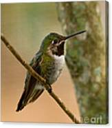 Broad Tailed Hummingbird Canvas Print