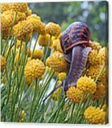 Brown Garden Snail Canvas Print