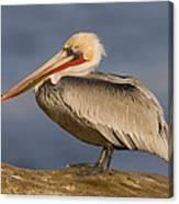 Brown Pelican Portrait California Canvas Print