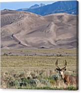 Buck At Great Sand Dunes Canvas Print