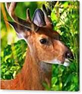 Buck In Velvet Canvas Print