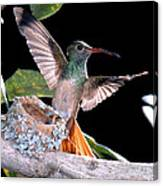 Buff-bellied Hummingbird At Nest Canvas Print