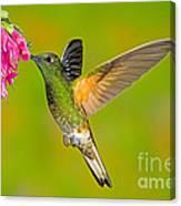 Buff-tailed Coronet Hummingbird Canvas Print