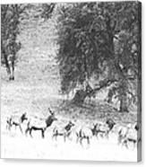 Bull Elk With Harem Canvas Print