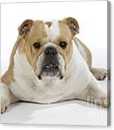 Bulldog, Female Canvas Print