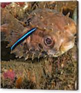 Burrfish And Cleaner Goby Canvas Print