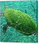 Busch Turtle  Canvas Print