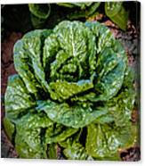 Butterhead Lettuce Canvas Print