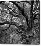 California Black Oak Tree Canvas Print