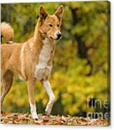 Canaan Dog Canvas Print