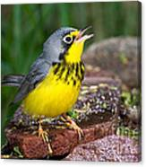 Canada Warbler Canvas Print