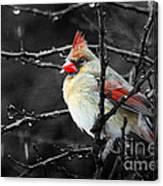 Cardinal On A Rainy Day Canvas Print