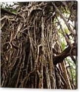 Cathedral Fig Tree Canvas Print