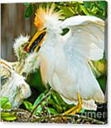 Cattle Egret With Young In Nest Canvas Print