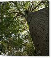 Ceiba Tree Canvas Print