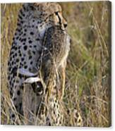 Cheetah Carrying Its Prey Canvas Print