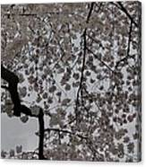 Cherry Blossoms - Washington Dc - 011342 Canvas Print