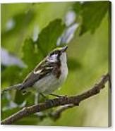Chesnutsided Warbler Canvas Print