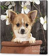 Chihuahua Dog In Flowerpot Canvas Print