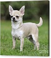 Chihuahua Dog Canvas Print
