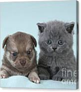 Chihuahua Puppy And British Shorthair Canvas Print