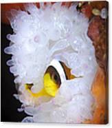 Clarks Anemonefish In White Anemone Canvas Print
