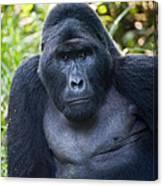 Close-up Of A Mountain Gorilla Gorilla Canvas Print