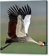 Close-up Of Grey Crowned Crane Canvas Print