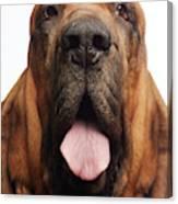 Close Up Portrait Of A Bloodhound Canvas Print