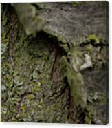 Closeup Of Bark Covered In Lichen Canvas Print